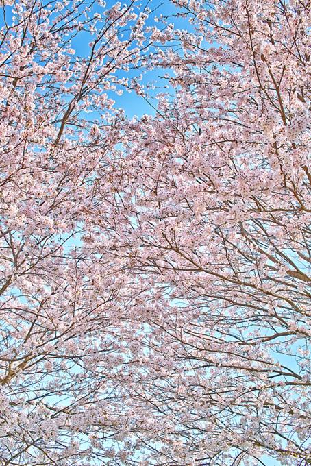 おしゃれな桜の背景(桜 待ち受けの画像)