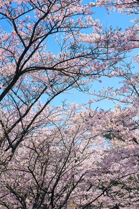 青空と綺麗な桜景色(桜 可愛いの画像)