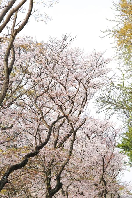 桜の林と白い空(桜 かっこいいの画像)