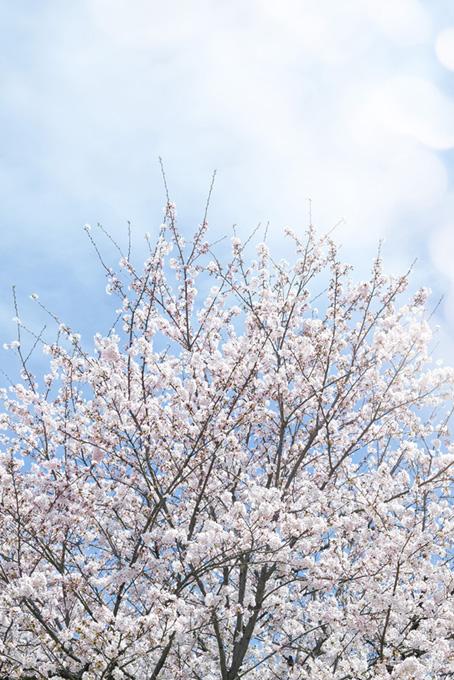 咲き始める白いサクラ(桜 開花の画像)