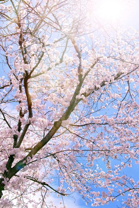 春の桜林と太陽の写真(桜 可愛いの画像)