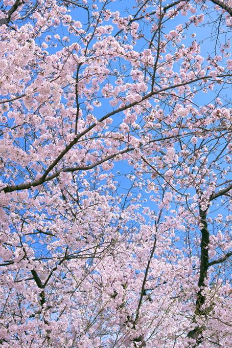 青空に映えるソメイヨシノの木(桜 可愛いの画像)