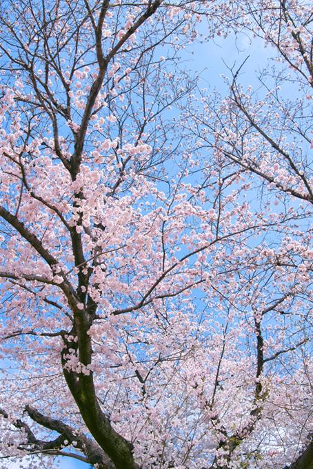 春の桜林(桜 縦の画像)