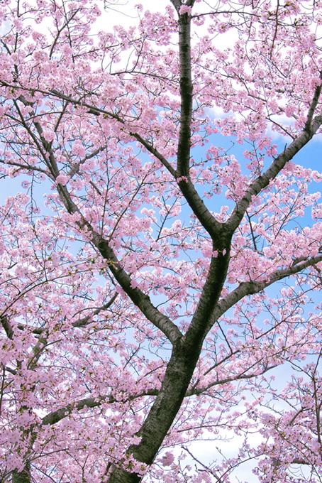 ピンクの花が咲く桜の木(桜 可愛いの画像)
