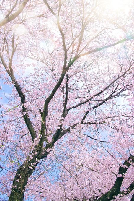 光が降り注ぐピンクの桜(桜 かっこいいの画像)