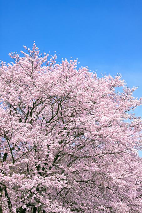 満開のピンクの桜(桜 待ち受けの画像)