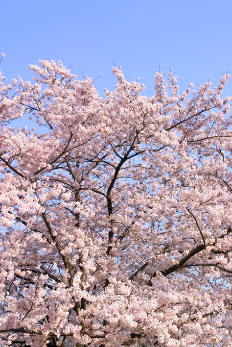 春の青空と桜(桜 待ち受けの画像)
