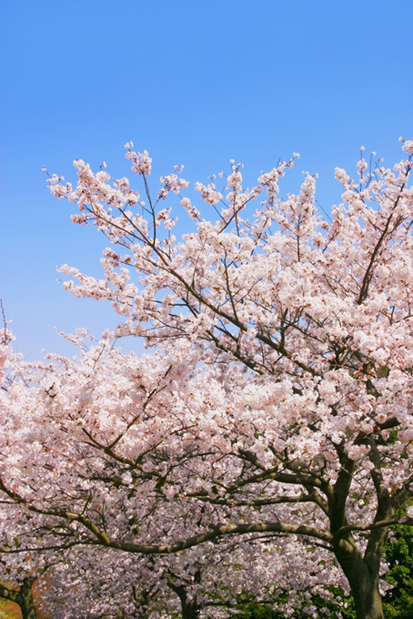 春の青空と桜(桜 縦の画像)
