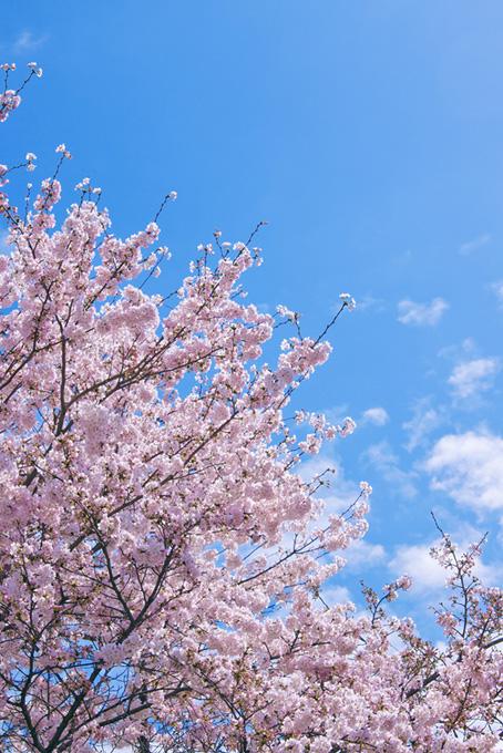春の青空と桜