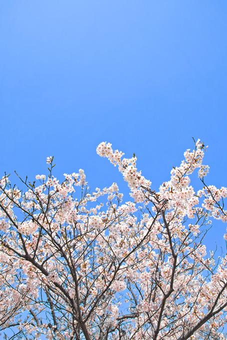 桜の花咲く木