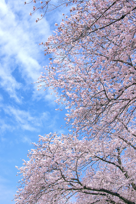 ピンクの桜の木と空(桜 風景の画像)