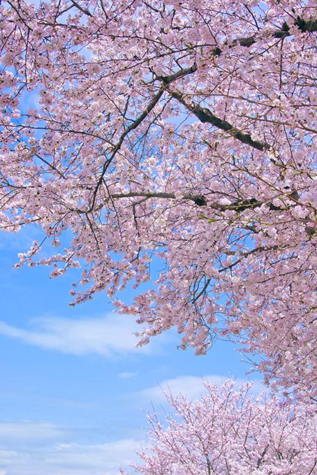 青空を覆う薄紅色の桜(桜 風景の画像)
