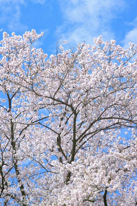 綺麗な白い花のソメイヨシノ(桜 待ち受けの画像)