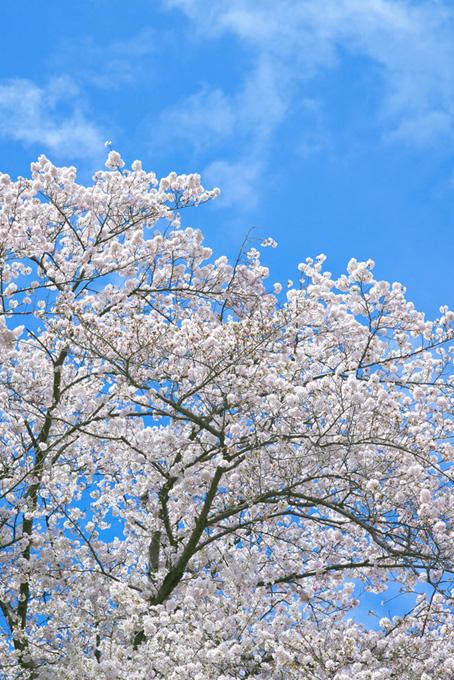 爽やかな青空と桜(桜 待ち受けの画像)