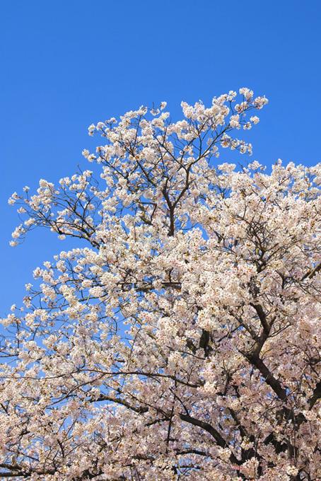桜の花咲く木と青空(桜 待ち受けの画像)