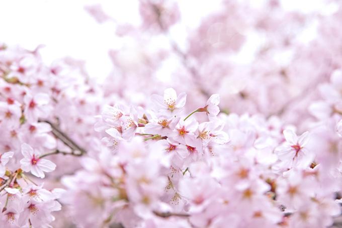 沢山の桜の花