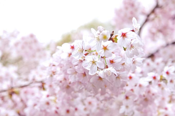 かわいい桜の花が咲く景色(桜 白背景の画像)