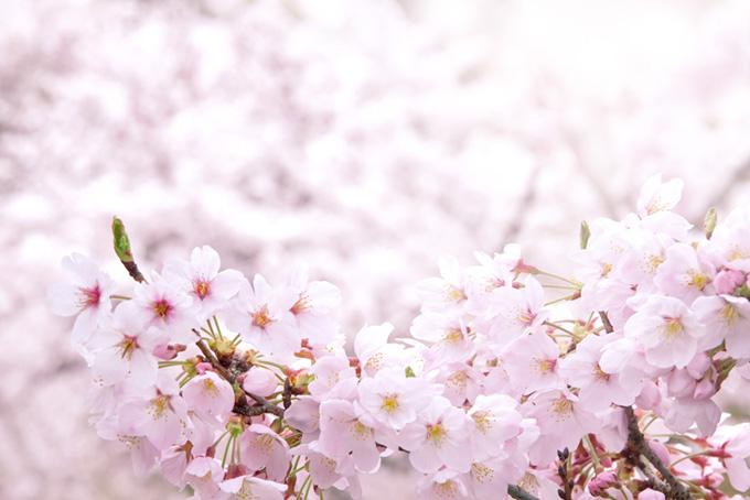 ピンクの桜と春の柔らかな光(桜 白背景の画像)