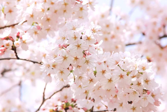 美しい桜の背景(桜 おしゃれの画像)