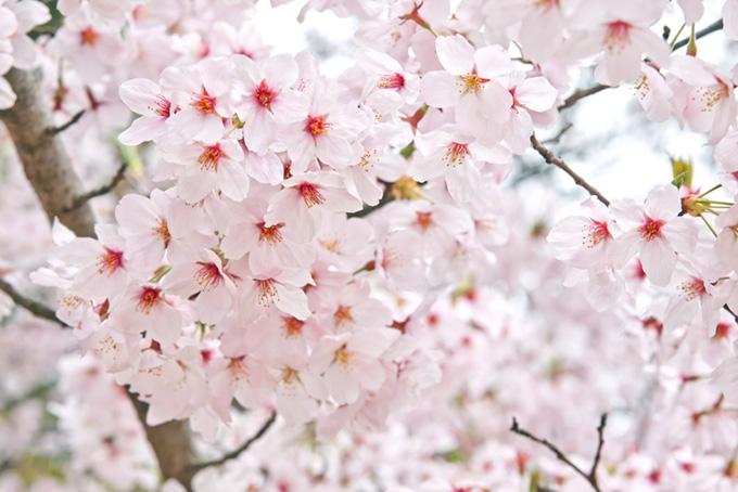 花をつける春の桜(桜 おしゃれの画像)