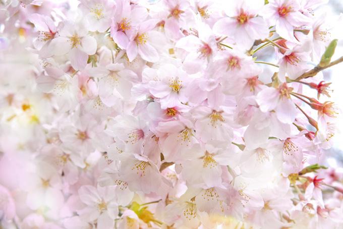 可愛い桜の花(桜 おしゃれの画像)