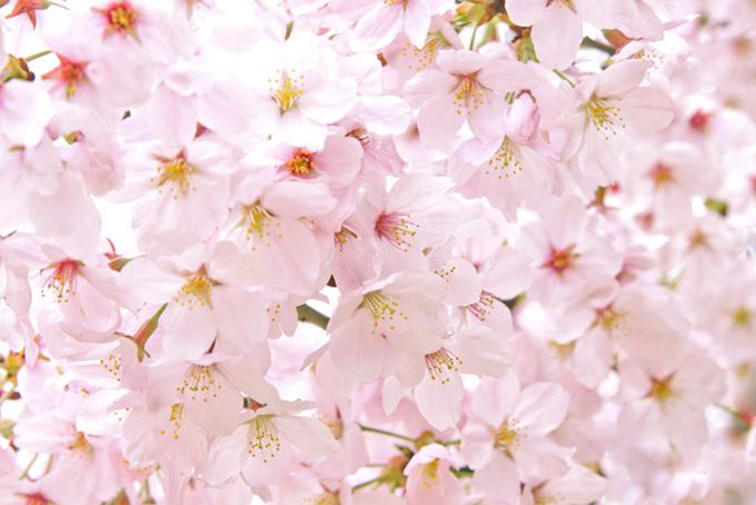 沢山の綺麗なさくらの花(桜 おしゃれの画像)
