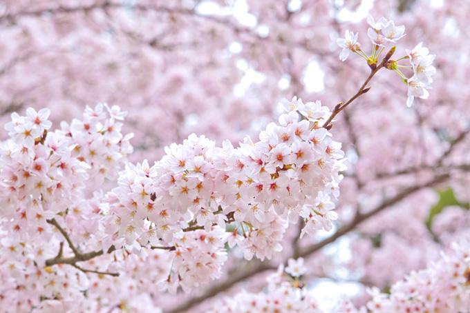 美しいサクラの春景色(桜 おしゃれの画像)