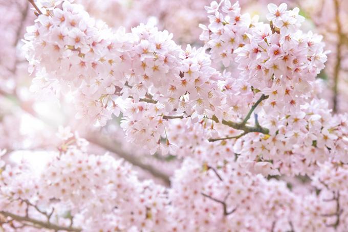 満開の桜の花(桜 おしゃれの画像)