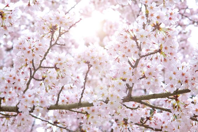 ソメイヨシノと白い空(桜 白背景の画像)