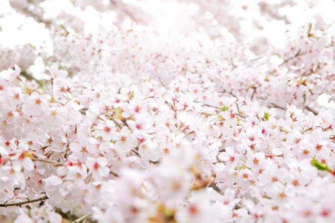 さくらの向こうの輝く光(桜 白背景の画像)