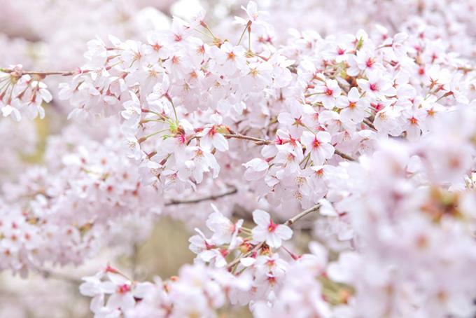 可憐なサクラの花(桜 花の画像)