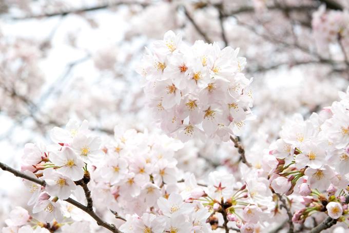 真っ白な花とピンクの蕾の桜(桜 白背景の画像)