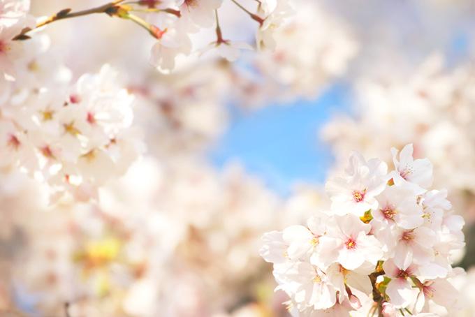沢山の桜の花びら