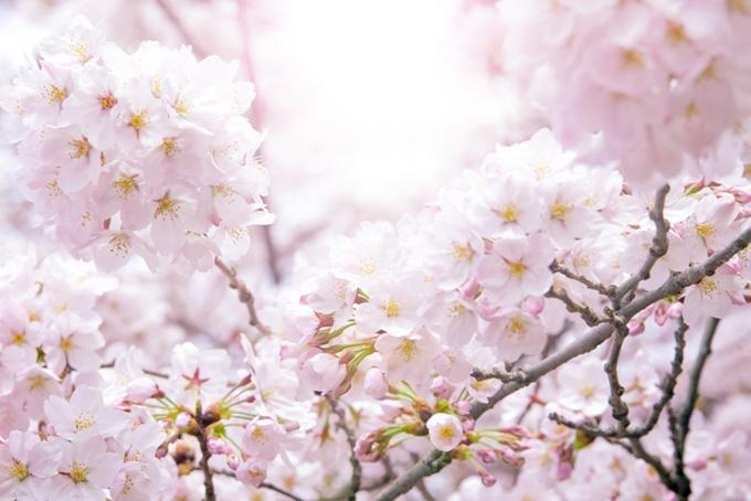 薄いピンクの桜の花
