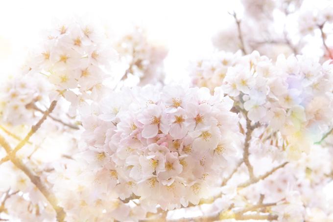 光に包まれるの桜