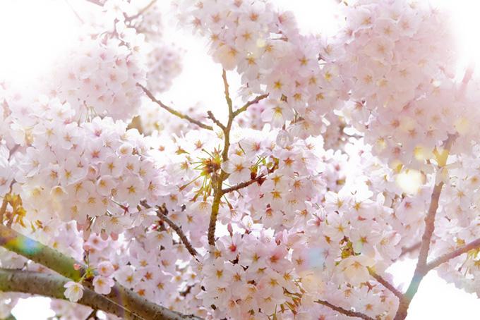 さくらの花と輝く光(桜 白背景の画像)