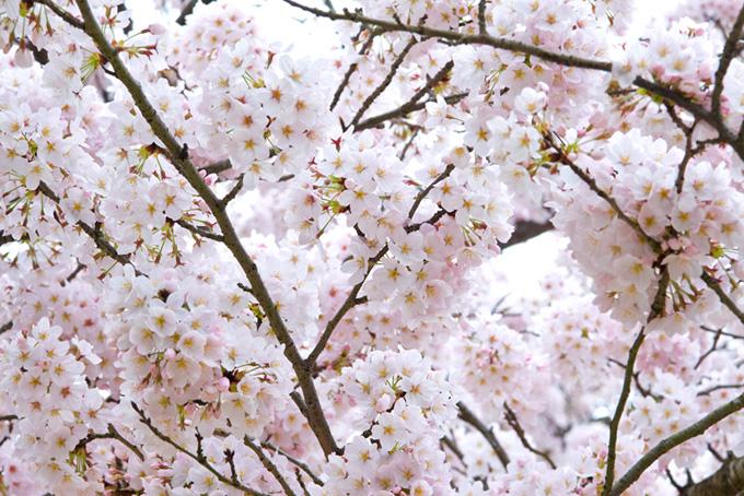 白い花咲くサクラの枝(桜 白背景の画像)
