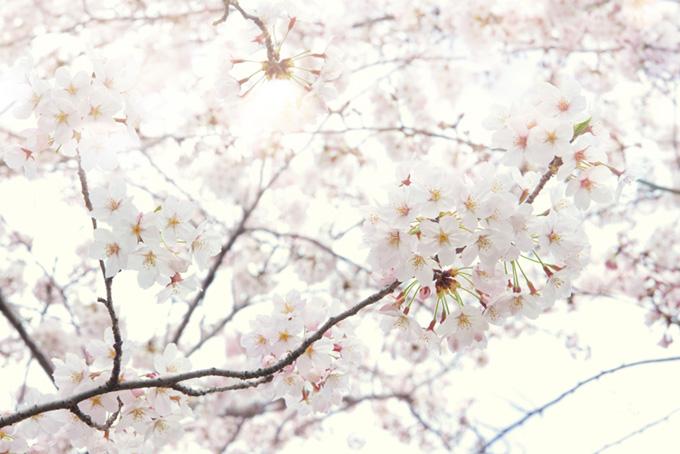 染井吉野の花と溢れる光(桜 白背景の画像)