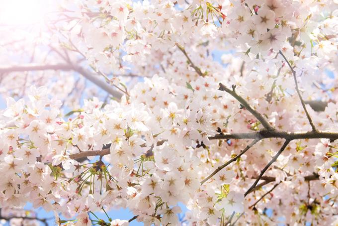 春の陽とソメイヨシノ(桜 花の画像)