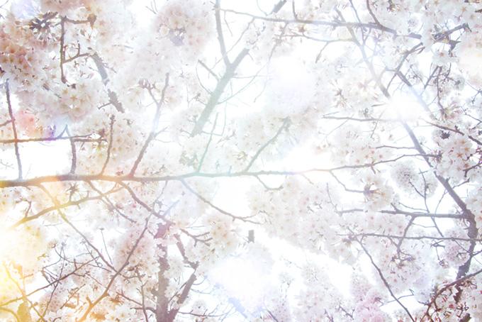 桜の間から射し込む春の陽(桜 白背景の画像)