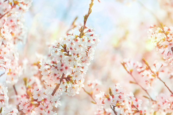 桜の花と淡い光(桜 おしゃれの画像)