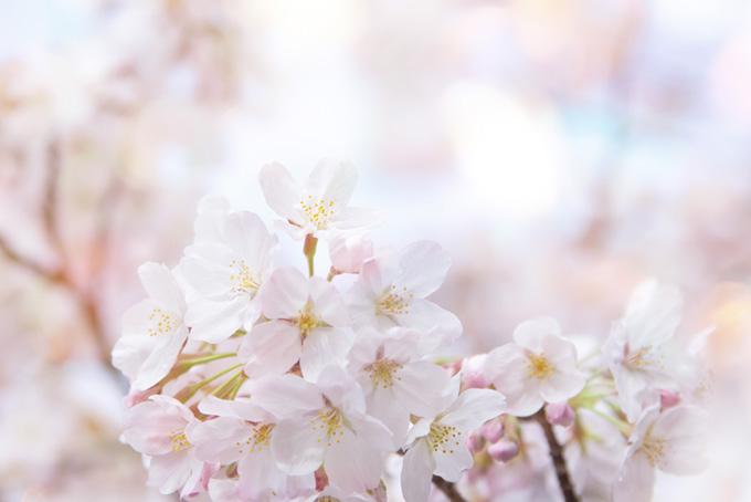 サクラの花びらと光