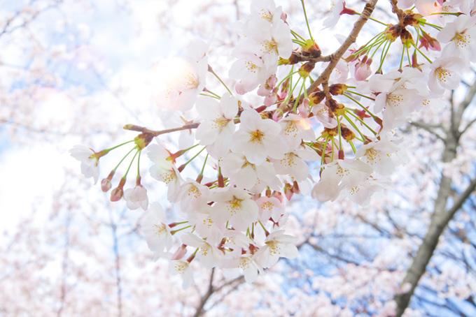 さくらの花と光