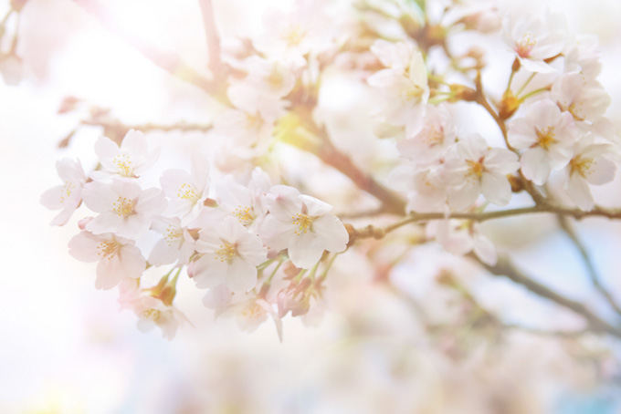 白い桜の花と輝く光(桜 おしゃれの画像)