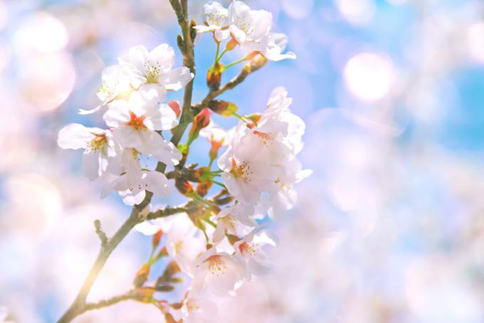 桜の花と日差し
