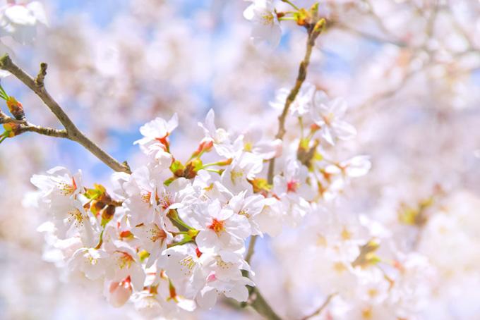 桜の白い花と空にボケる背景(桜 花の画像)