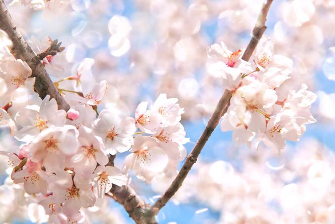 桜とキラキラと輝く背景(桜 花の画像)
