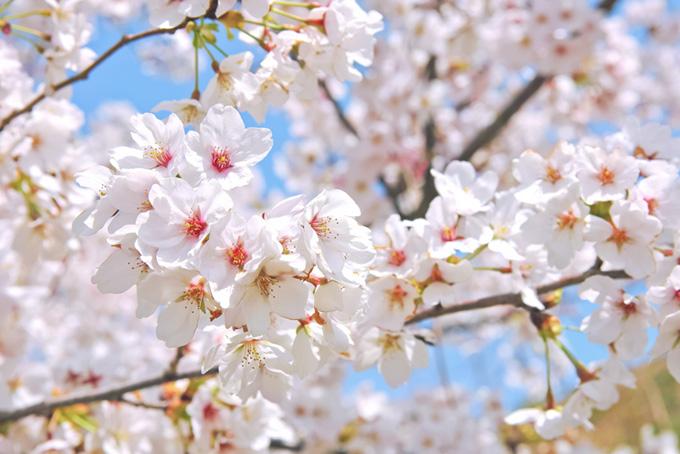 桜と長閑な春の風景(桜 花の画像)