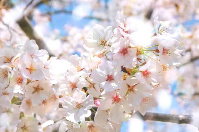 さくらの花と光(桜 花の画像)