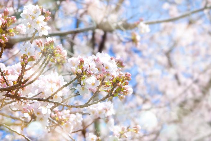 白い花とピンクのつぼみ(桜 蕾の画像)